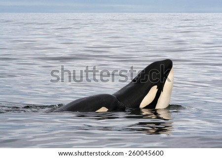 Killer whale female with calf resting - stock photo