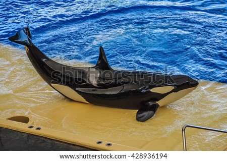 Killer whale, grampus, Orcinus orca dancing in oceanarium, Tenerife, Canarian Islands - stock photo
