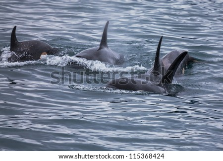 killer whale group - stock photo