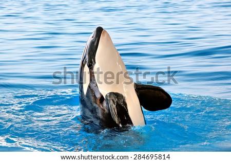 Killer whale in Loro Parque, Tenerife - stock photo