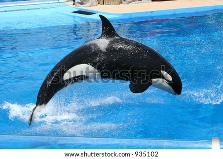 Killer Whale jumping in a pool