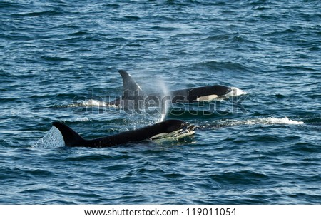 killer whale mother with her calve - stock photo