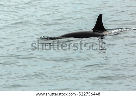 Killer Whale - Orcinus Orca in Pacific Ocean. Water area near Kamchatka Peninsula, Russia