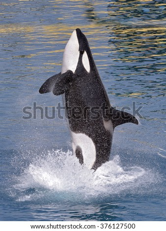 Killer whale (Orcinus orca) jumping out of  blue water and seen from profile - stock photo
