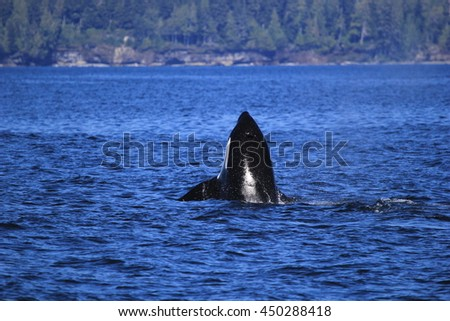 Killer Whales - stock photo