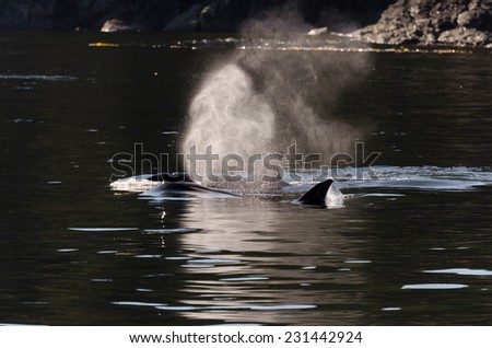 Killer whales breathe sea Vancouver in Canada - stock photo