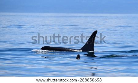 Killer Whales Vancouver island - stock photo