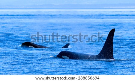 Killer Whales Vancouver island - stock photo