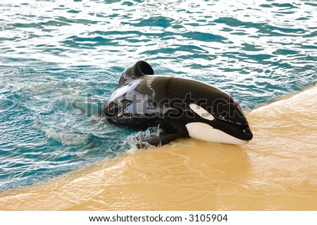 Killerwhale in a water world making fun. - stock photo