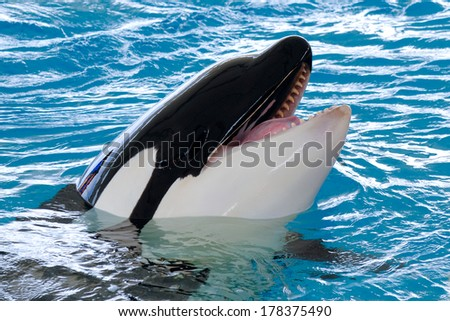 Killerwhale is smiling - stock photo