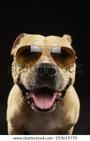 Kind american staff terrier dog  isolated on black background