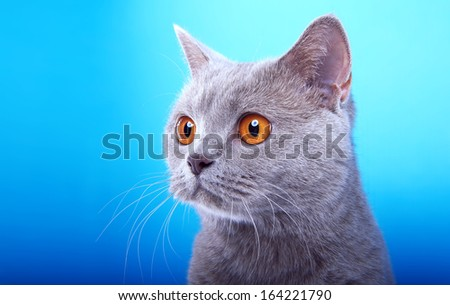 Kind British cat - stock photo