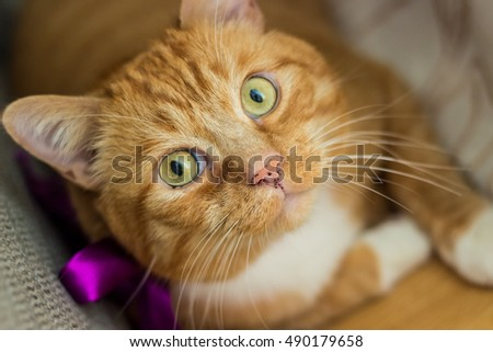 Kind fluffy ginger cat portrait with a purple bow and big green eyes lying on the floor at home