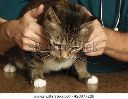 Kind veterinarian examines a tabby cat - stock photo