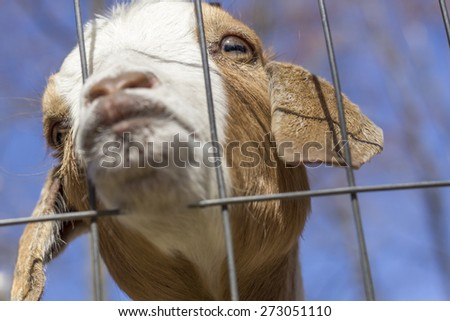 Kinder Goat peers through the fence and puckers his lips for a kiss - stock photo