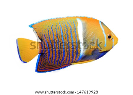 King Angel Fish isolated on white - stock photo
