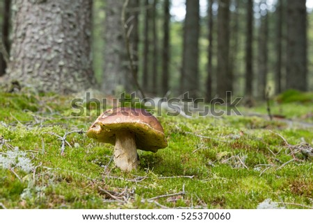 King bolete, boletus edulis growing among moss in coniferous forest