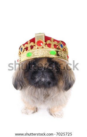 King Brown Pekingese dog wearing gold and red crown isolated on white