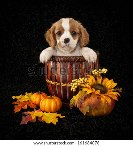 King Cavalier puppy sitting in a basket with fall decor around him. - stock photo