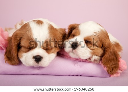 King Charles Cavalier puppies sleeping napping snoozing on light pink background  - stock photo
