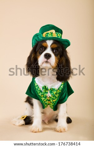 King Charles Cavalier Spaniel puppy in leprechaun St Patrick Day outfit against beige background - stock photo