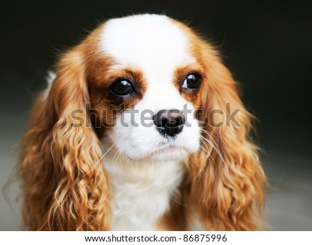 King Charles spaniel dog outdoor portrait over blurry background - stock photo