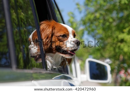 King Charles Spaniel (English Toy Spaniel) look out the open car window