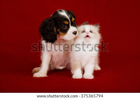 King Charles Spaniel puppy and Ragdoll kitten sitting on deep red burgundy background