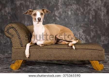 King Charles Spaniel puppy wearing red and black hat lying down on chaise sofa couch against green background - stock photo