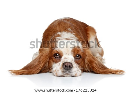 King Charles spaniel resting on white background - stock photo