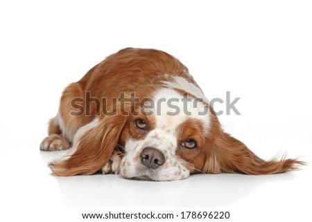 King Charles spaniel resting on white background - stock photo