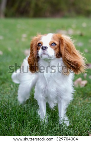 King Charles Spaniel with grass as the background - stock photo