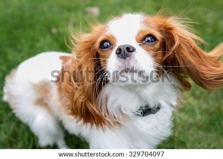 King Charles Spaniel with grass as the background