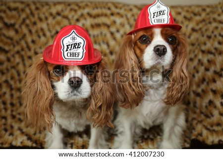 King Charles Spaniels wear their Fireman Hats for a Dog Fashion photo shoot - stock photo
