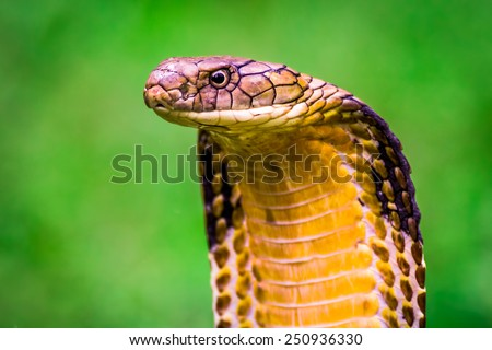 King Cobra (Ophiophagus hannah) The world's longest venomous snake - stock photo
