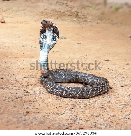 King cobra sliding along the sand .The world's longest venomous snake . - stock photo