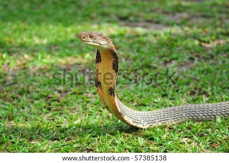 King Cobra snake - stock photo