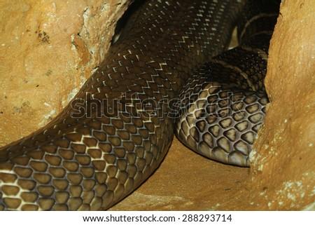 king cobra snake hidden in cave - stock photo