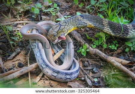King Cobra snake,Naja bait Village Pet Snake,Khon kaen,Thailand. - stock photo