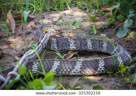 King Cobra snake,Naja of Blur the foreground in bait Village Pet Snake,Khon kaen,Thailand. - stock photo