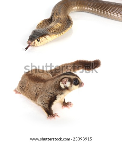 King cobra studio shot with sugar glider - stock photo