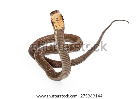 King cobra - The world's longest venomous snake. Commonly found in the forests of India and Southeast Asia. Snake is looking forward on a white background. - stock photo