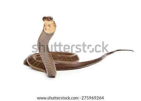 King cobra - The world's longest venomous snake. Commonly found in the forests of India and Southeast Asia. Isolated on white. Looking to side. - stock photo