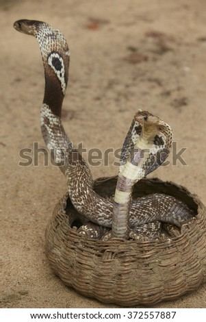 King Cobras dancing in the Basket