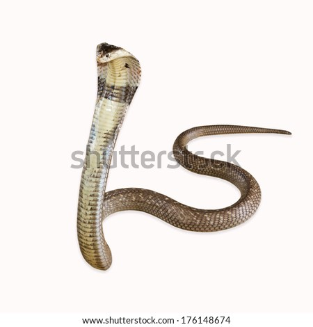 king cobras - Ophiophagus hannah, poisonous, white background  - stock photo