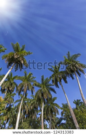 King palm trees on the caribbean island of Cuba