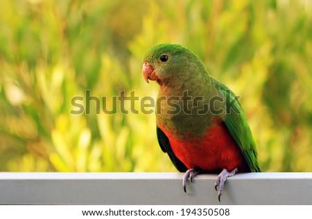 King parrot - stock photo
