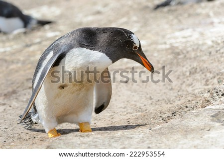 King penguin - stock photo