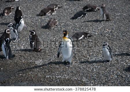 King penguin among magellanic penguins on Isla Martillo, Beagle channel, Ushuaia. - stock photo