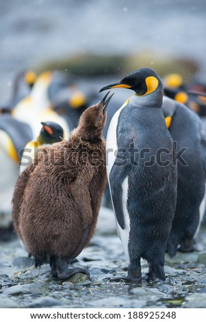 King penguin and chick in South Georgia, Antarctica - stock photo
